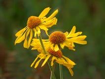 在登上Lemmon的黄色雏菊在图森 图库摄影