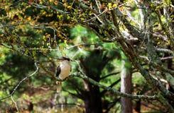 在登上Tomah植物园,澳大利亚的Kookaburra 库存图片