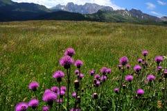 在白云岩的美丽的紫色花 库存图片