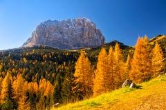 在白云岩阿尔卑斯有美丽的黄色落叶松属树的和Sassolungo山的秋天风景在背景 免版税库存图片