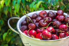 在白合金滤锅的成熟有机新近地被采摘的甜樱桃在绿色树叶子在庭院里 背景蓝色云彩调遣草绿色本质天空空白小束 夏天 库存照片