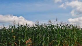 在白天期间的玉米 免版税库存图片