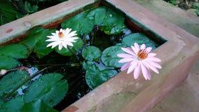 在白天的美丽的waterlily花 免版税库存图片