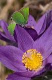 在白头翁属patens花的绿色hairsteak蝴蝶 免版税图库摄影