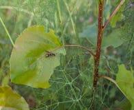 在白扬树叶子的欧洲黄蜂 库存照片