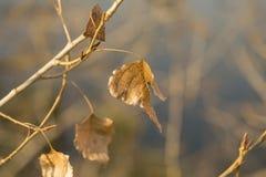 在白扬树的干燥秋叶分支,被日光照射了特写镜头 免版税库存照片
