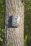 在白扬树的黑足迹凸轮鹿狩猎的 库存图片