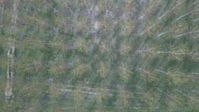 在白扬树种植园森林的空中上升的顶面射击 股票录像