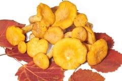 在白杨木叶子的黄蘑菇蘑菇 库存照片