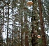 在白杨木的蘑菇 免版税图库摄影