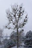 在白杨树的槲寄生 库存图片