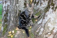 在白桦树的被剥离的杂色猫。 图库摄影