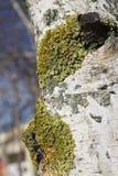 在白桦树皮的地衣 免版税库存照片