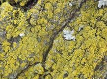 在白桦树皮的绿色地衣 免版税库存照片