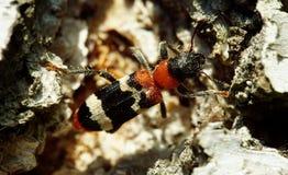 在白桦树皮的蚂蚁甲虫 免版税库存照片