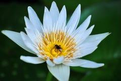 在白百合花的昆虫 库存图片