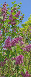 在白的感觉渐近的紫色丁香 库存照片