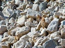 在白种人山的野山羊 免版税库存照片