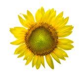 在白色与露滴的向日葵隔绝的 库存图片