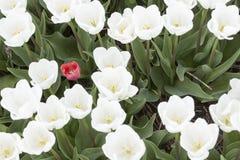 在白色之间的一红色郁金香一个在从上面被看见的庭院里 免版税图库摄影