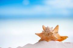 在白色佛罗里达海滩沙子的古巴海壳在太阳光下 免版税库存图片