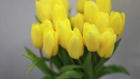 在白色内部特写镜头的美丽的黄色郁金香花 股票录像