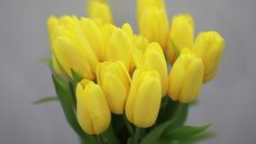 在白色内部特写镜头的美丽的黄色郁金香花 影视素材