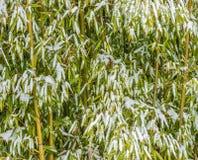 在白色冬天雪盖的庭院竹子 图库摄影