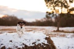 在白色冬天风景的杰克罗素狗 小狗8岁 免版税库存照片