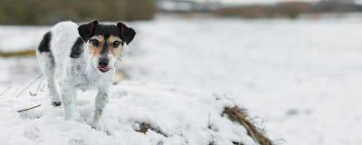 在白色冬天风景的杰克罗素狗 小狗8岁 库存照片