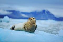 在白色冰的说谎的髯海豹与雪在北极斯瓦尔巴特群岛,黑暗的山在背景中 免版税库存图片