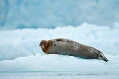 在白色冰的说谎的髯海豹在北极斯瓦尔巴特群岛 免版税图库摄影