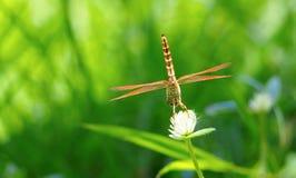 在白色千日红花的布朗蜻蜓 库存照片