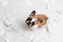 在白色卫生间地板上的家庭宠物破坏与卫生纸某一张  宠物照管摘要照片 与滑稽的小有罪狗 免版税图库摄影