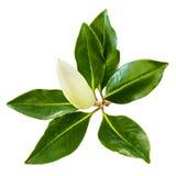 在白色和叶子隔绝的木兰芽 免版税库存图片
