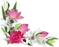 在白色和桃红色莲花角落隔绝的百合 库存图片