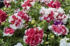 在白色和红色的康乃馨花 免版税图库摄影