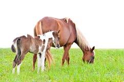 在白色和驹隔绝的布朗母马 库存图片