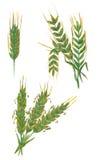 在白色和麦子隔绝的拉伊、大麦 免版税库存照片