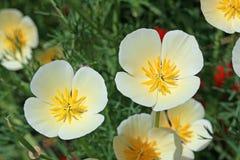 在白色和黄色的花菱草 库存图片