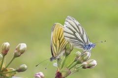 在白色和黄色的两只蝴蝶一起坐一个进展的分支 免版税库存照片