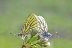 在白色和黄色的两只蝴蝶一起坐一个进展的分支 免版税库存图片