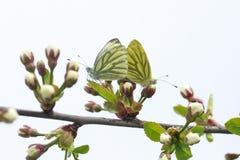 在白色和黄色的两只蝴蝶一起坐一个进展的分支 图库摄影