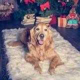 在白色地毯的金毛猎犬 球圣诞节查出的心情三白色 库存图片
