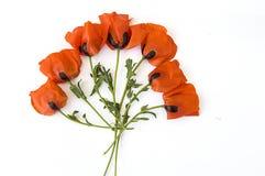 在白色地面上是鸦片花、鸦片叶子、最佳的鸦片花项目的和设计, 库存照片