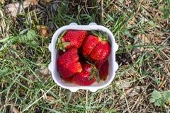 在白色塑胶容器的大水多的成熟红色开胃草莓莓果在自然草森林背景在夏天 免版税库存图片