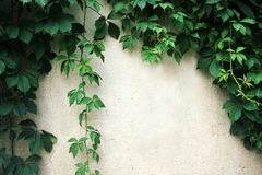 在白色墙壁上的上升的植物 语篇框架图 免版税图库摄影