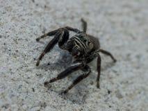 在白色墙壁上的小黑蜘蛛 库存照片