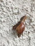 在白色墙壁上的蜗牛 库存照片