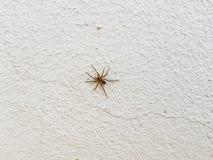 在白色墙壁上的蜘蛛 八条简单的昆虫的腿动物共同的蜘蛛房子关闭在家 库存图片